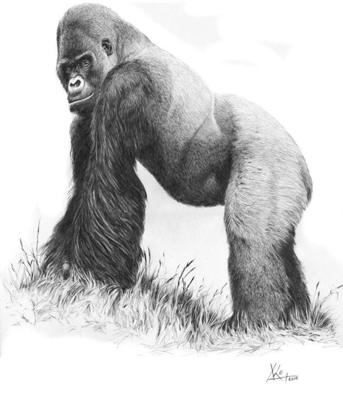 Macho de gorila de montaña